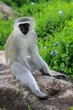 Vervet monkey. Sun City area, South Africa royalty free stock photography