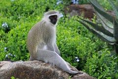 Vervet monkey. Sun City area, South Africa royalty free stock photo