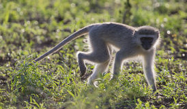 Vervet monkey walk back-lit in the early morning sun Royalty Free Stock Images