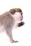 Vervet Monkey on the white Stock Photo