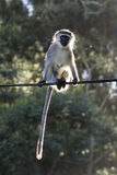 Vervet monkey on wire Royalty Free Stock Photo