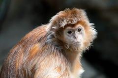 Vervet Monkey. A young vervet monkey glances over at the camera Stock Images