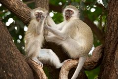 Vervet Monkeys Stock Photo