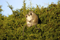 Vervet Monkeys. Two Vervet Monkeys sitting in a tree, Mountain Zebra National Park Royalty Free Stock Photography