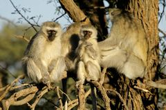 Vervet monkeys Stock Images
