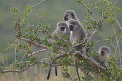 Vervet monkeys at Addo Elephant National Park. A family of vervet monkeys sitting in a tree at Addo Elephant National Park stock image