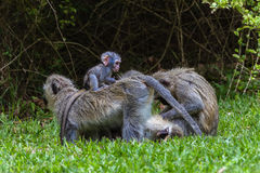 Vervet Monkeys Baby Ride Royalty Free Stock Images