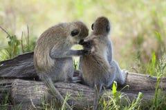 Vervet Monkeys, Chlorocebus pygerythrus Stock Photography