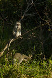Vervet monkeys - Chlorocebus pygerythrus Royalty Free Stock Image