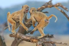 Vervet monkeys fighting on branch stock photo