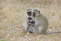 Vervet Monkeys Royalty Free Stock Photography