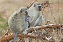 Vervet Monkeys Stock Image
