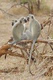 Vervet Monkeys Royalty Free Stock Photo