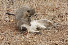 Vervet monkeys grooming Royalty Free Stock Photos