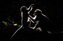 Vervet Monkeys grooming with black background Stock Images