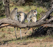 Vervet Monkeys Grooming Royalty Free Stock Image