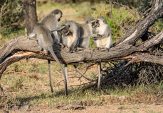 Vervet Monkeys Grooming Stock Images