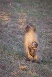 Vervet monkeys Stock Images