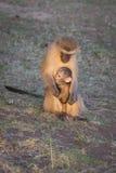 Vervet monkeys Stock Photography