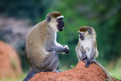 Vervet monkeys. Mother and child sitting on a anthill in Entebbe, Uganda Stock Photo