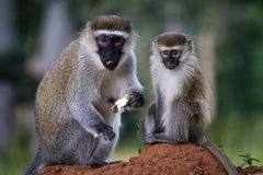 Vervet monkeys. Mother and child sitting on an anthill in Entebbe, Uganda Royalty Free Stock Image