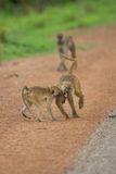 Vervet monkeys playing Stock Photography