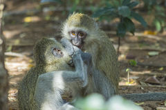 Vervet monkeys playing and biting each other Stock Photos