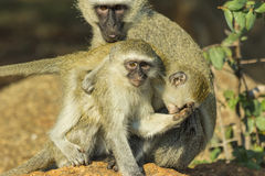 Vervet monkeys playing and biting each other Royalty Free Stock Photo