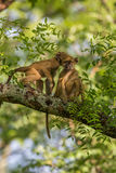 Vervet monkeys playing the trees Royalty Free Stock Photos