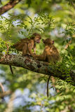Vervet monkeys playing the trees Royalty Free Stock Image