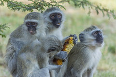 Vervet monkeys sitting on a rock Stock Photo
