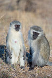 Vervet monkeys socializing Stock Photo