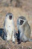 Vervet monkeys socializing Stock Photo