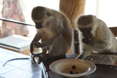 Vervet Monkeys stealing olives from the plate. Vervet Monkeys on a restaurant table stealing olives from the plate, Kruger National Park, South Africa Royalty Free Stock Images