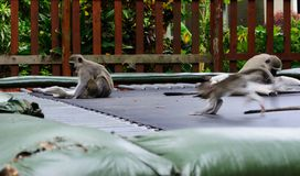 Vervet monkeys on trampoline stock photography