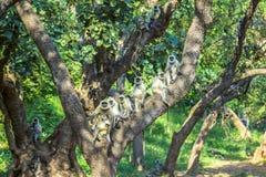 Vervet monkeys  at a tree in Sariska national park Stock Photos