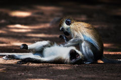 The vervet monkeys, Tsavo West, Kenya, Africa. Stock Images