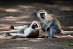 The vervet monkeys, Tsavo West, Kenya, Africa. Royalty Free Stock Image