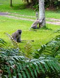Vervet monkeys walking through trailer park stock photos