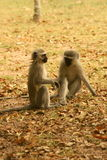 Vervet Monkeys. The monkeys was playing in a rest camp in the Kruger Park Stock Images