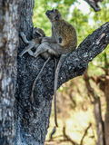 Vervet mother and cub Stock Photo