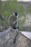 Vervet o mono verde, pygerythrus de Chlorocebus fotografía de archivo