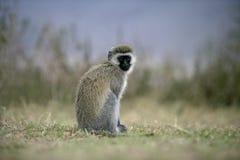 Vervet oder grüner Affe, Chlorocebus-pygerythrus Lizenzfreies Stockbild