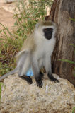 Vervet in the Serengeti National Park. Tanzania Royalty Free Stock Image