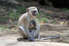 Vervet zwei Affe auf einem Stein Lizenzfreie Stockfotografie