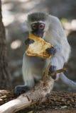 Vervetaap die (Chlorocebus-pygerythrus) een stuk van toost eten royalty-vrije stock fotografie