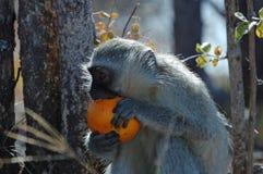 Vervetaap die sinaasappel eten stock afbeeldingen