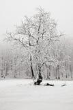 Övervintra i det ensliga trädet för snöskogen i vinter, snöig landskap med snö och dimma, dimmig skog i bakgrunden kall vinter Fotografering för Bildbyråer