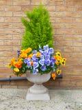 Övervintra och fjädra pansies och den vintergröna busken i c Royaltyfria Foton