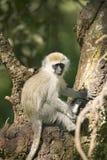 Vervit-Affe, der im Baum außerhalb der Erhaltung Lewa-wild lebender Tiere, Nord-Kenia, Afrika sitzt Stockbild